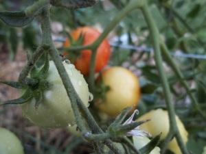 100_1668 tomato