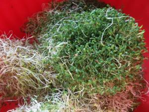 alfalfasprouts