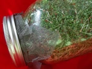 alfalfasprouts2