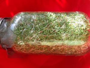 alfalfasprouts3